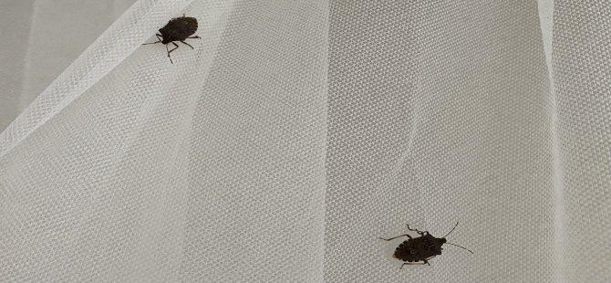 Osuruk Böcekleri Vatandaşları Canından Bezdirdi