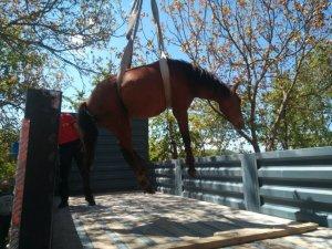 Yaralı Yılkı Atı Ankara'da Tedavi Edilecek