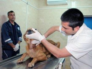 Boynuna Tel Dolanan Köpek Hayata Tutundu