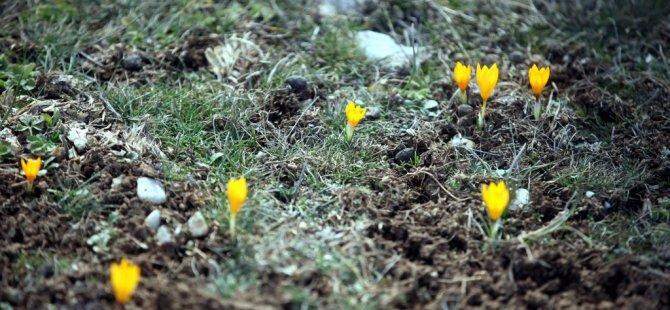 Çiğdemler Çiçek Açtı
