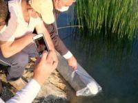 Gölete 5 bin yavru sazan balığı bırakıldı