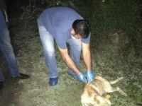 İğne ile uyuttuları köpekleri bırakıp kaçtılar