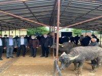 19 Adet Damızlık Mandalar Çiftçilere Teslim Edildi