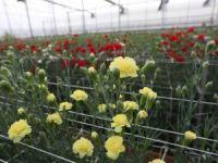 Bolu, Karanfil Üretiminde Antalya'nın Açığını Kapatabilir