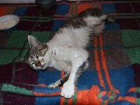 Bolu'da, Sansarların Saldırısına Uğrayan Kedi Ameliyat Edildi
