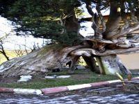 Asırlık Selvi Ağacına Beton Direkli Destek