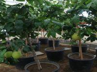 Bolu'da 51 Çeşit Tropikal Meyve Yetiştiriliyor