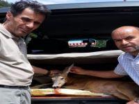 Yaralı Karaca Koruma Altına Alındı